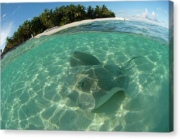 Pink Whipray In Shallow Waters Canvas Print