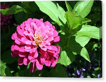 Canvas Print featuring the photograph Pink Zinnia by Ellen Tully