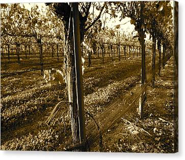 Canvas Print featuring the photograph Pinot Growth by Paul Foutz