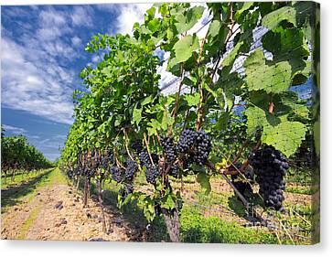 Pinot Noir Canvas Print - Pinot Noir Grapes In Niagara by Charline Xia