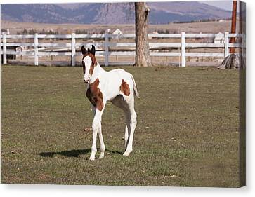 Pinto Filly In Pasture With White Fence Canvas Print by Piperanne Worcester