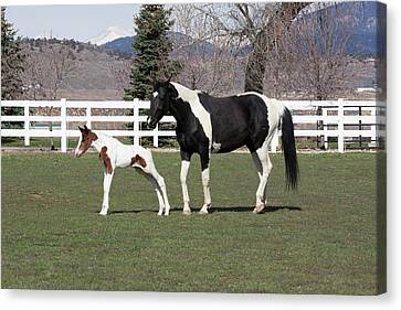 Pinto Oldenburg Warmblood Mare And Foal Canvas Print