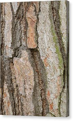Pinus Pinea Canvas Print by Science Photo Library