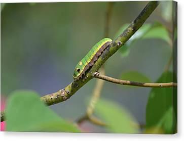 Pipevine Swallowtail Caterpillar Canvas Print by Jodi Terracina