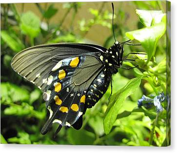 Pipevine Swallowtail Canvas Print by Jennifer Wheatley Wolf