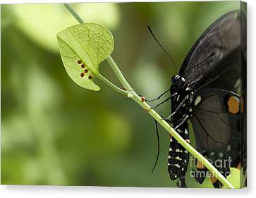 Canvas Print featuring the photograph Pipevine Swallowtail Mother With Eggs by Meg Rousher