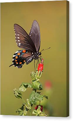 Pipevine Swallowtail Nectaring Canvas Print