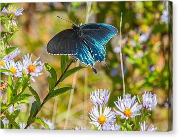 Pipevine Swallowtail On Asters Canvas Print by John Haldane