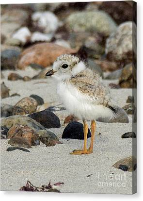 Piping Plover Chick Canvas Print