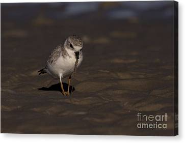 Piping Plover Photo Canvas Print by Meg Rousher