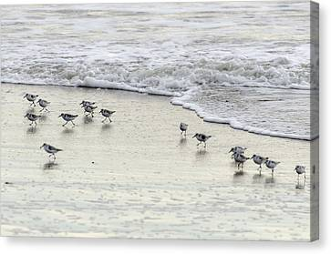 Piping Plovers At Water's Edge Canvas Print