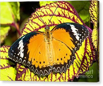 Plain Tiger Butterfly Canvas Print by Millard H. Sharp