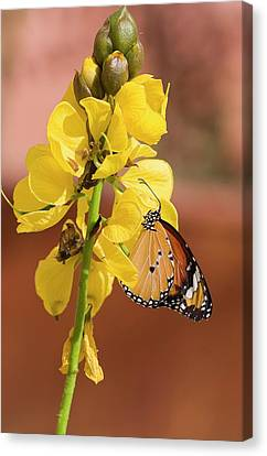 Plain Tiger Butterfly Canvas Print by Photostock-israel