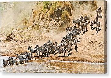 Plains Zebra About To Cross The Mara River Canvas Print by Liz Leyden