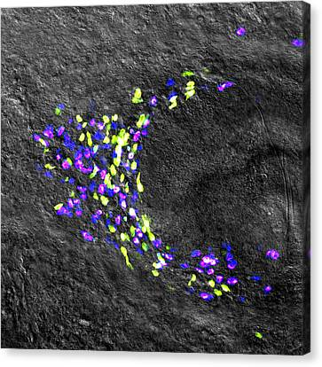 Planarian Stem Cell Colony Canvas Print