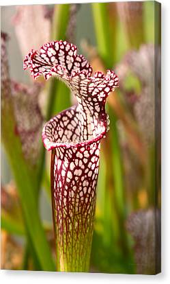 Plant - Pretty As A Pitcher Plant Canvas Print by Mike Savad