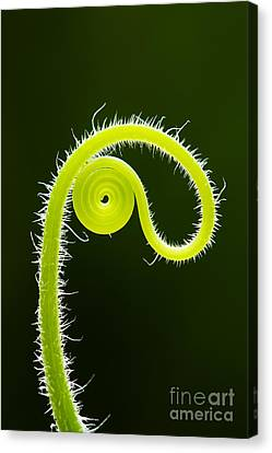 Plant Tendril Canvas Print by Tim Gainey