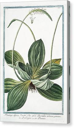 Cesare Canvas Print - Plantago Alpina by Rare Book Division/new York Public Library