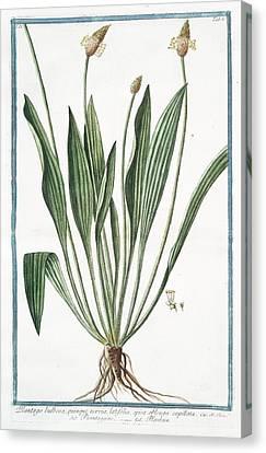 Cesare Canvas Print - Plantago Bulbosa by Rare Book Division/new York Public Library