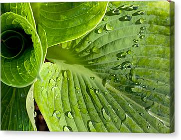 Plantain Lily Canvas Print