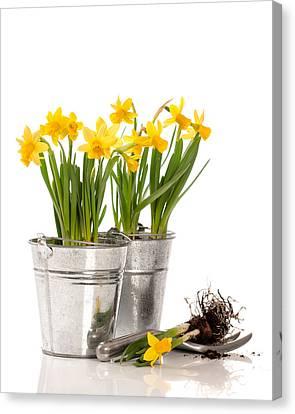 Planting Bulbs Canvas Print by Amanda Elwell