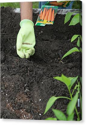 Planting Carrot Seeds Canvas Print by Jim West