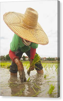 Planting New Ricechiang Mai Thailand Canvas Print by Stuart Corlett