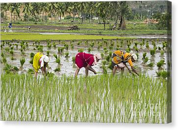Planting Rice India Canvas Print