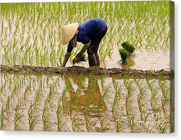 Planting Rice Canvas Print by J L Woody Wooden