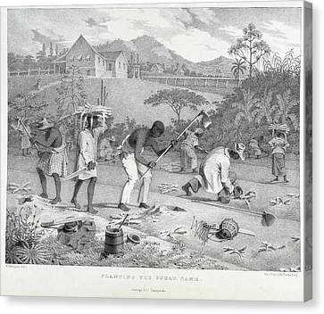Planting The Sugar Cane Canvas Print by British Library