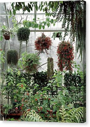Plants Hanging In A Greenhouse Canvas Print by Wiliam Grigsby