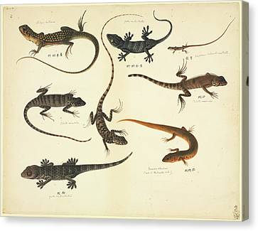 Plate 102: John Reeves Collection Zoology Canvas Print