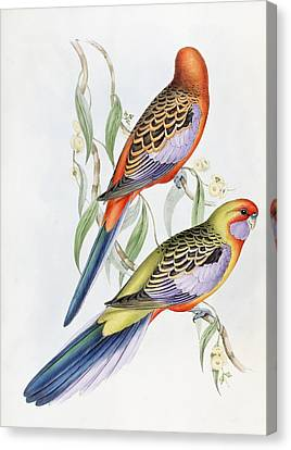 Bold Colors Canvas Print - Platycercus Adelaidae From The Birds Of Australia by John Gould