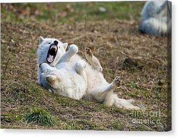 Canvas Print featuring the photograph Playful Arctic Wolves by Wolves Only