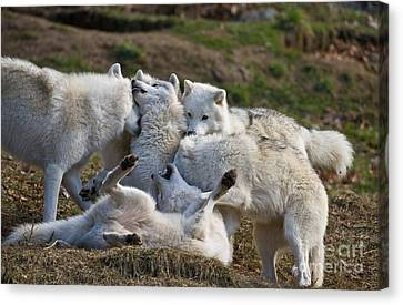 Canvas Print featuring the photograph Playful Pack by Wolves Only