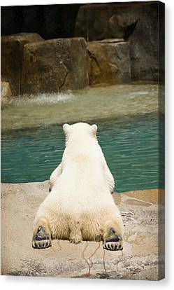 Playful Polar Bear Canvas Print by Adam Romanowicz