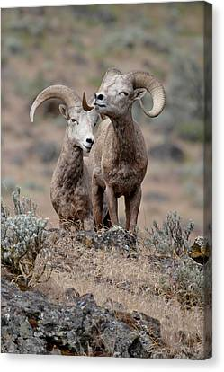 Canvas Print featuring the photograph Playfull Rams by Athena Mckinzie