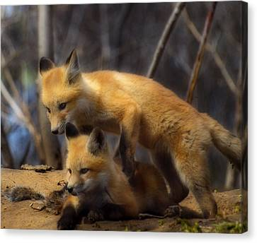Fox Kit Canvas Print - Playing Kit Foxes by Thomas Young