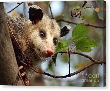 Playing Possum Canvas Print by Nikolyn McDonald