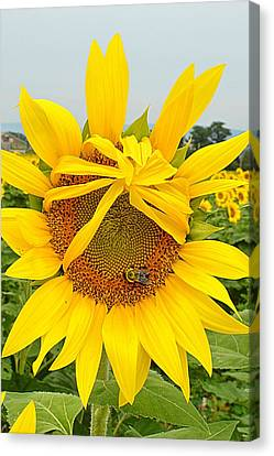 Pleading Sunflower Canvas Print