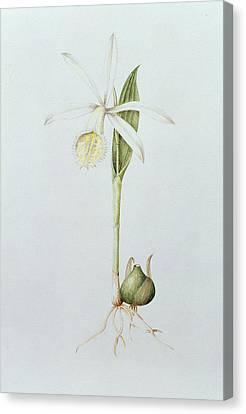 Pleione Formosana Alba Canvas Print