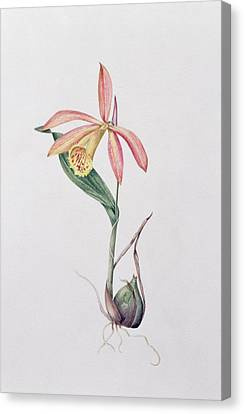 Pleione Zeus Wildstein Canvas Print by Mary Kenyon-Slaney