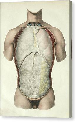 Plate 1 Canvas Print - Pleura And Peritoneum by Science Photo Library