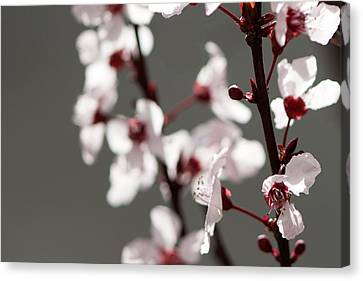 Plum Blossom II Canvas Print by Peter Tellone