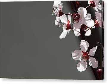 Plum Blossom Canvas Print by Peter Tellone