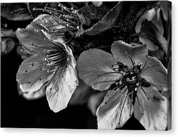 Canvas Print featuring the photograph Plum Blossoms   Black   White by Robert Culver