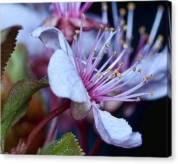 Canvas Print featuring the photograph Plum Blossoms by Robert Culver