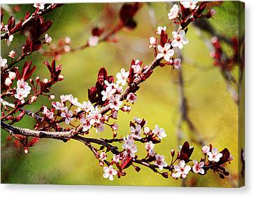 Canvas Print featuring the photograph Plum Blossoms by Trina  Ansel