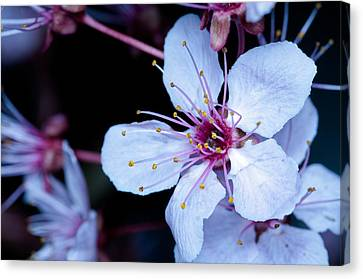 Canvas Print featuring the photograph Plum Tree Blossom IIi by Robert Culver
