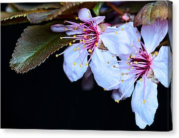 Canvas Print featuring the photograph Plum Tree Blossom Iv by Robert Culver